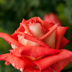 by Bharat Dudeja - Nature Up Close Flowers - 2011-2013 ( rose, red, monsoon, rain drops, garden, flower )