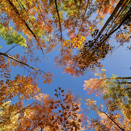 Look Up! by Max Moorman - Landscapes Forests ( orange, fall colors, colorful, green, leaves, aspen, sky, red, tree, leave, color, blue, trees, day, gold, aspens )