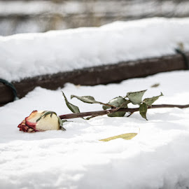 Snow Rose by Svemir Brkic - Novices Only Objects & Still Life ( rose, snow, flower )