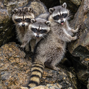 Raccoon Family by Jerry Cahill - Animals Other ( bandit animal, wildlife, raccoon, bandits, animal,  )