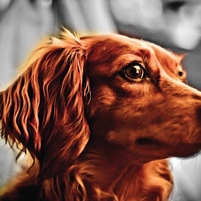 Long Haired Daschand (Calvin the weener dog) by Ben Porway - Animals - Dogs Portraits ( color, pet, beautiful, weener dog, dog, hair, daschand )