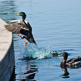 One small step for Duck, One giant leap for Duck kind. by Steve Forbes - Animals Birds