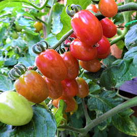 Mini Tomatoes  by Carol Leynard - Food & Drink Fruits & Vegetables ( red, green, fruit, tomato, vine )