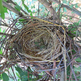 Cardinal Nest by Marcia Taylor - Nature Up Close Hives & Nests (  )