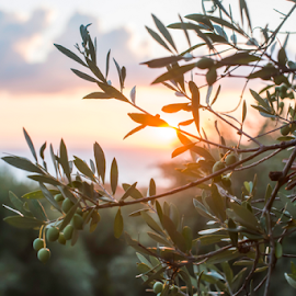 Olive trees on sunset by Deyan Georgiev - Nature Up Close Trees & Bushes ( countryside, old, wood, brunch, leaves, landscape, olive, spain, sun, oil, nature, tree, mediterranean, light, italy, spanish, vintage, greece, agriculture, morning, agricultural, rural, organic, food, sunset, background, outdoors, trees, branch, harvest, view, garden, design, culture, soil )