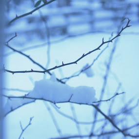 Waking up to WInter by Laura Pariot - Nature Up Close Trees & Bushes ( #cold, #snow, #winter, #december, #branch )
