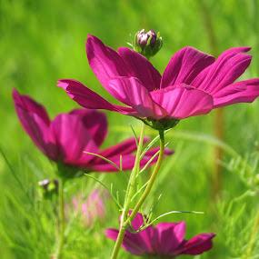 Purple Flower by Erika  Kiley - Novices Only Flowers & Plants ( field, purple, meadow, summer, flower )