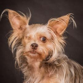 by Myra Brizendine Wilson - Animals - Dogs Portraits ( canine, dogs, foster margaret, pet, pets, gcspca, foste dog margaret, dog, greater charlotte spca, margaret )
