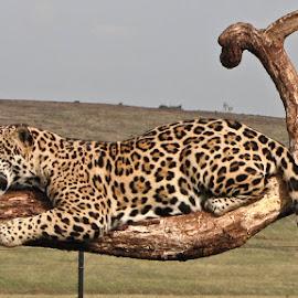 Leopard by Eidel Bock - Animals Lions, Tigers & Big Cats