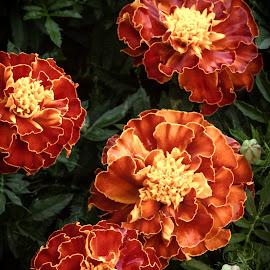 Marigolds by Jennifer  Loper  - Flowers Flower Gardens ( marigolds, orange, green, leaves, yellow, garden, flower )