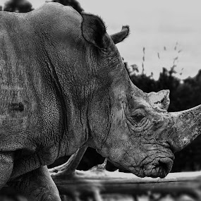Walking by Cristobal Garciaferro Rubio - Animals Other Mammals ( walking, texture, b/n, rhino, mammal )