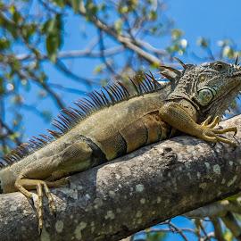 Iguana in a tree by John Pounder - Animals Reptiles ( tree, mexico, iguana, reptile, closeup )