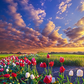 Love by Phil Koch - Landscapes Prairies, Meadows & Fields ( vertical, farmland, yellow, leaves, love, sky, tree, nature, autumn, perspective, flowers, light, orange, twilight, art, agriculture, horizon, portrait, environment, dawn, season, serene, trees, lines, inspirational, wisconsin, natural light, ray, beauty, tulips, landscape, phil koch, spring, sun, photography, farm, horizons, inspired, clouds, office, park, green, scenic, morning, shadows, field, red, blue, sunset, amber, peace, meadow, summer, beam, earth, sunrise, garden )