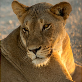 Resting Lioness by Brendon Muller - Animals Lions, Tigers & Big Cats ( lioness, photosbybrendon, wildlife, africa, kgalagadi )