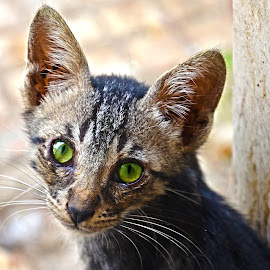 Kitten Green Eyes by Umair Nayab - Animals - Cats Kittens (  )