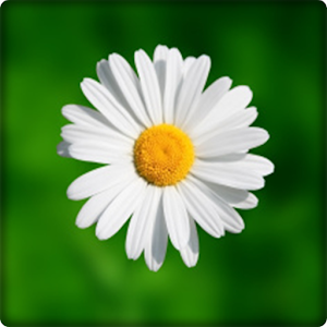 New Daisy Flowers Onet Game