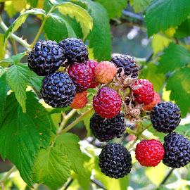BLACKBERRIES by Wojtylak Maria - Food & Drink Fruits & Vegetables ( food, ripening, fruits, bush, blackberries, garden )