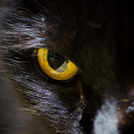 Jerry G by Becky Adolf - Animals - Cats Portraits ( cat, rescue, yellow, rescue cat, black cat, black, eyes,  )