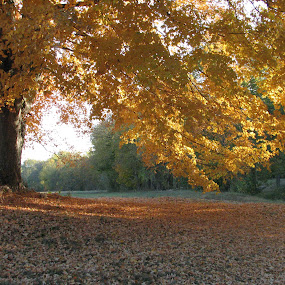 GOLDEN by Sharon Pierson - Nature Up Close Trees & Bushes ( fall leaves on ground, fall leaves )
