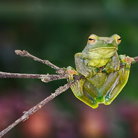 Green Flying Frog by Meorjay Creation - Animals Reptiles