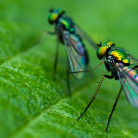 Colors by Andy Goo - Novices Only Macro ( macro, bugs, nature, color, wings, insect, flies, eyes )