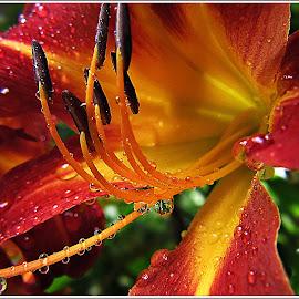 Rain by Kathy Hancock - Flowers Single Flower ( red flower, single flower, drops, day lily, flower )