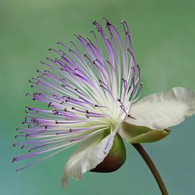 Capparis spinosa by Boris Buric - Flowers Single Flower (  )