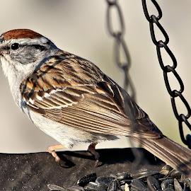 Canada Day 30 by Terry Saxby - Animals Birds ( bird, canada, terry, goderich, ontario, saxby, nancy )