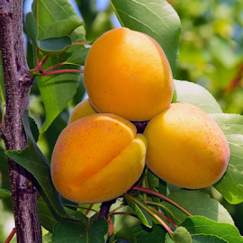 nice apricots by LADOCKi Elvira - Food & Drink Fruits & Vegetables