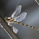 Giant Petaltail Dragonfly