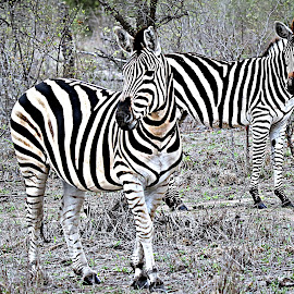 Zebra mare  and Filly by Pieter J de Villiers - Animals Other ( filly, mare, mammals, animals, other, kruger national park, south africa, zebra, africa )