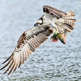 Osprey with breakfast by Dave Eppley - Animals Birds ( bird of prey, nature, osprey, wildlife )
