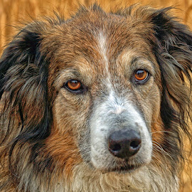 In her Autumn Years by Twin Wranglers Baker - Animals - Dogs Portraits