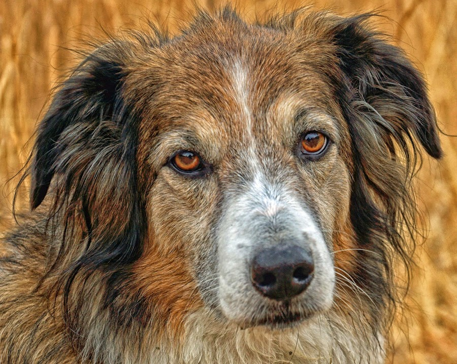 In her Autumn Years by Twin Wranglers Baker - Animals - Dogs Portraits (  )