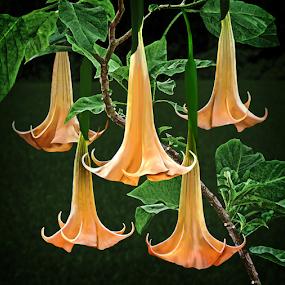 Angel Trumpet by Joseph Vittek - Flowers Tree Blossoms ( orange, tree, green, poison, angel trumpet, yellow, gold, flower )