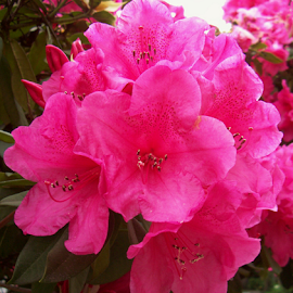 PINK RHODIES by William Thielen - Novices Only Flowers & Plants ( rhododendron, bright, seattle, cluster, pink, group, spring, fucshia )