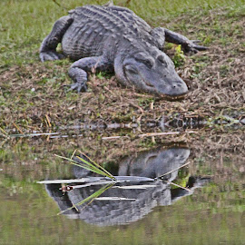 Gator with Reflection by Jim Powell - Animals Reptiles