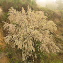 Sea-of-Galilee Tamarisk