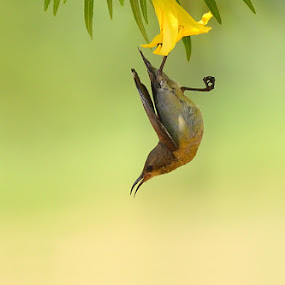 sunbird by Zahoor Salmi - Animals Birds ( animals, nature, zahoorsami, wildlife, birds )
