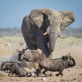 The charge by Rian Van Schalkwyk - Animals Other Mammals ( charge, elephant, etosha national park, namibia, blue wildebeest,  )