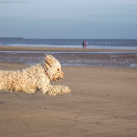 Flying by Peter Brown - Animals - Dogs Running ( sand, flying, sunny, happy, sea, air, goldendoodle, seaside, beach, dog, running,  )