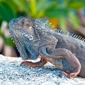Islamorada Iguana by Jamie Myers - Animals Reptiles ( islamorada, lizard, keys, iguana, south, islands, ocean, reptile, animal )