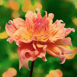 Pumpkin Dahlia by Jim Downey - Flowers Single Flower ( orange, green, dahlia, yellow, petals )