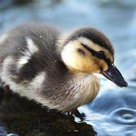 Duckling by Wendy Milne - Animals Birds ( fluffy, duckling, young bird, cute, spring )