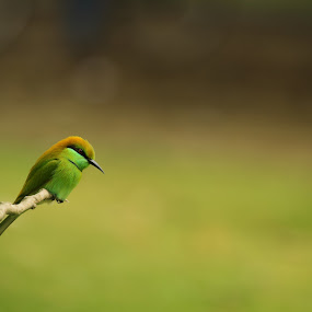 green Bee eater by Shovan Sam - Animals Birds ( cannon )