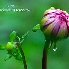 Buds...  by Asif Bora - Typography Quotes & Sentences