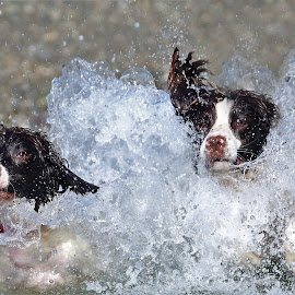 Springer Summer by Gareth Evans - Animals - Dogs Playing ( surf, spaniel, dogs, water, springer spaniel, sea )