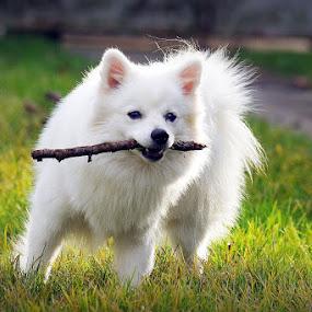 by Nediljko Prološčić - Animals - Dogs Playing ( playing, animals, dog )