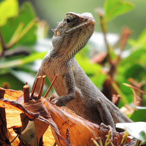 Lizard.. by Amitaesh Theva - Animals Reptiles