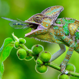 Yummy by Ajar Setiadi - Animals Reptiles ( reptile, chameleon, animal )